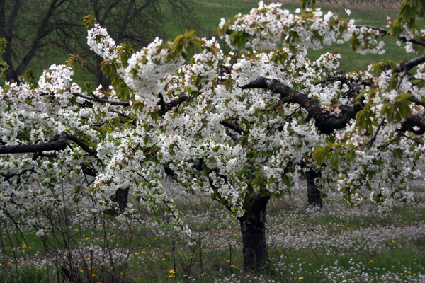 Cherry-tree-in-Irancy