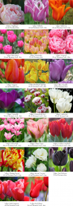 L'assortiment Tulipes le week-end du 14 & 15 octobre 2017