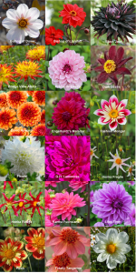 Dahlia market on April 28th and 29th 2018